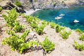 vineyard on Cap de Peyrefite near Cerbere, Languedoc-Roussillon, France