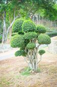 Bonsai Bush. Green Tree In A Park.