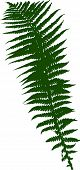 illustration with fern silhouette isolated on white