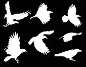 illustration with set of seven crow silhouettes isolated on black background