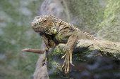 Lazy Iguana.
