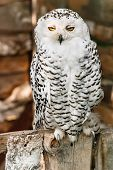 picture of owl eyes  - White northern owl with bright yellow eyes - JPG