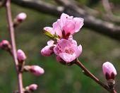 Blossom of fruity tree. Closeup.