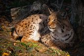 pic of wildcat  - a european lynx dangereous predator outdoos wildcat sitting - JPG