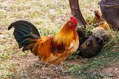 Colorful Farm Rooster