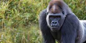 picture of gorilla  - portrait of a silver back gorilla with room for text - JPG