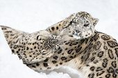 stock photo of snow-leopard  - Snow Leopard Pair Wrestling in the Snow - JPG
