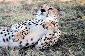 stock photo of cheetah  - Cheetah n the Masai Mara reserve in Kenya Africa - JPG