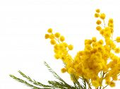 image of mimosa  - Beautiful sprig of mimosa isolated on white - JPG