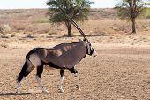 picture of antelope horn  - Gemsbok Oryx gazelladominant Gemsbok antelope in the park Kgalagadi South Africa - JPG