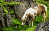 picture of iceland farm  - An Icelandic horse roaming free in west Iceland