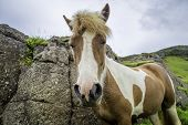 pic of iceland farm  - An Icelandic horse roaming free in west Iceland