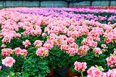 stock photo of greenhouse  - Greenhouse with colorful blooming geranium flowers for sale and gardening - JPG