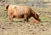 image of highland-cattle  - A female Highland Cow bends over her little calf who is asleep on the grass - JPG