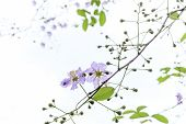 image of crepe myrtle  - soft focus queen flower on tree in sunny day - JPG