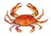 picture of crab  - Red boiled blue crab isolated on white background illustration - JPG