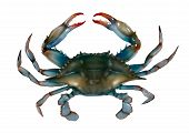 stock photo of blue crab  - Blue crab raw isolated illustration for decoration and design - JPG