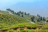 image of darjeeling  - green tea plantation landscape of Darjeeling India - JPG