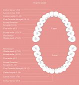 Gráfico dental adulto