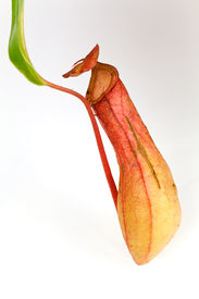 foto of nepenthes-mirabilis  - Nepenthes Alata - JPG