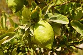 stock photo of sukkot  - Etrog  - JPG