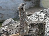 Aloof Meerkat