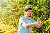 pic of mandarin orange  - Cheerful young man harvests oranges and mandarins on citrus farm on sunny summer day - JPG