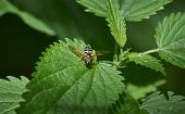 picture of flying-insect  - Insect on nettle leaves - JPG