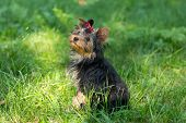 pic of yorkshire terrier  - Puppy Yorkshire Terrier walking in the Park on green grass - JPG