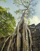 foto of raider  - Preah Khan famouse giant tree with ancient roots - JPG