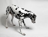 image of spotted dog  - Black and white dog on a leash Dalmatian - JPG
