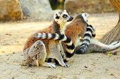stock photo of rings  - Lemur catta or ring - JPG
