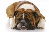 stock photo of crooked teeth  - english bulldog with crooked teeth laying down with reflection on white background - JPG