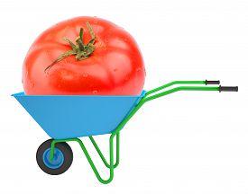 stock photo of hand-barrow  - Tomato in hand - JPG