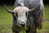 Domestic yak (Bos grunniens). Domestic animal.  poster