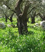 Olive Tree Trunk 4