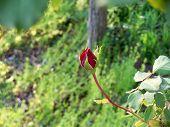 Schöne rote Rose Bud