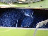 Little Blue Penguins In Their Nest