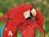 Green-Wing Macaws