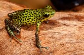 poison dart frog of Panama rainforest Strawberry frog Oophaga pumilio green yellow with black spots poster