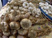 Garlic Varieties
