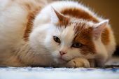 cat with pedigree lie on the floor