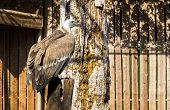 Closeup Of A Griffon Vulture Sitting On A Wooden Pole, A Scavenger Bird From Eurasia poster