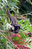 Honeyeater On Grevillia