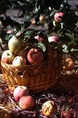 Apples In A Basket  Against Garden Background.wooden Wicker Basket With Fresh Ripe Apples In The Gar poster