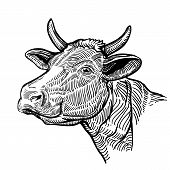 Cow Head, In A Graphic Style. Vintage Illustration Isolated On White Background. Snout Cow poster