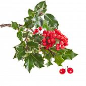 european holly Ilex aquifolium isolated on white