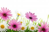 Colorful daisy flower in grass with copy space.