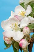 image of apple blossom  - Macro of apple flowers against blue sky - JPG