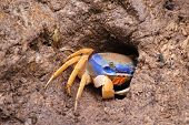 Costa Rican Crab